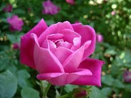 crema hidrtaante facial con rosa